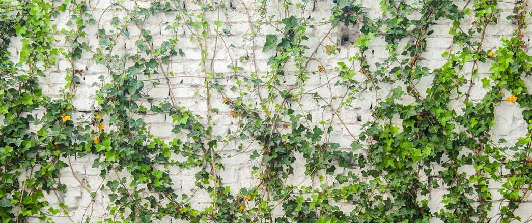 Fasadrenovering - mur med murgröna